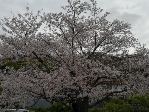 20200412桜4