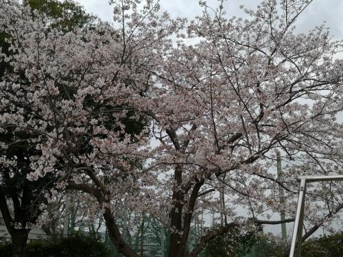 20200412桜5