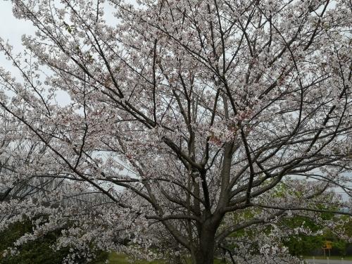 20200412桜6