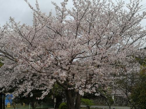 20200412桜7