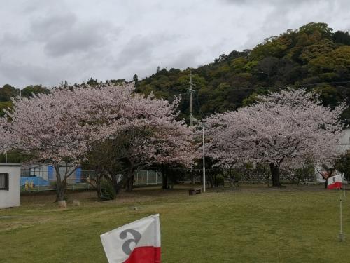 20200412桜8