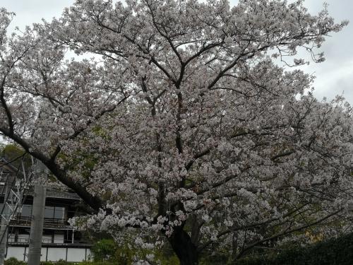 20200412桜9