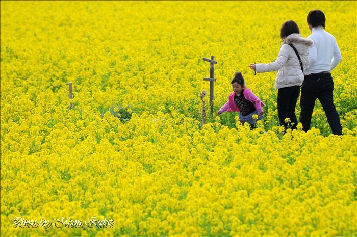 見奈良の菜の花畑 レスパスシティ