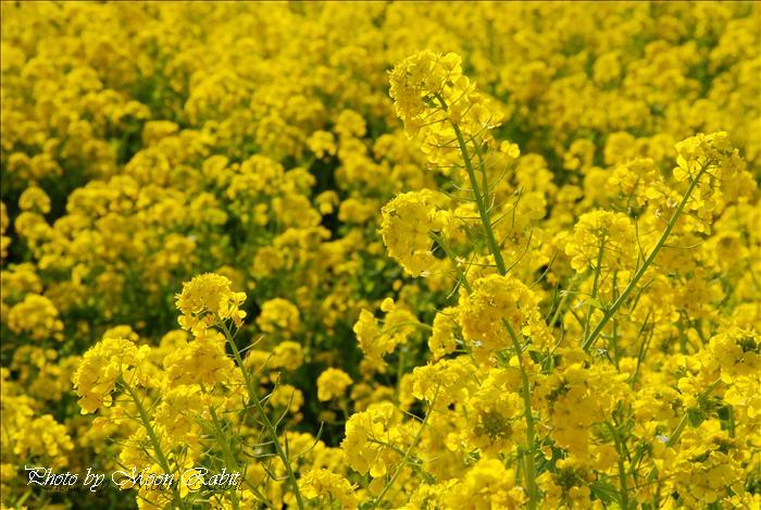 菜の花畑 レスパスシティ南側 愛媛県東温市見奈良
