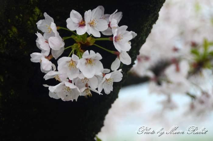 桜 武丈公園