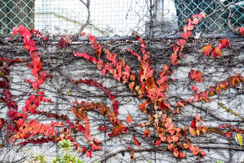 ブロック塀の赤いツタの葉 西条高等学校 愛媛県西条市