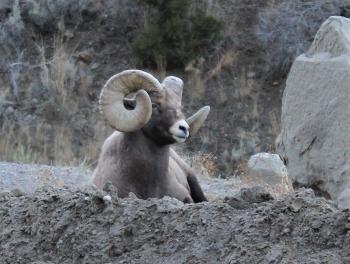 bighorn sheep 15