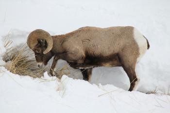 bighorn sheep 13