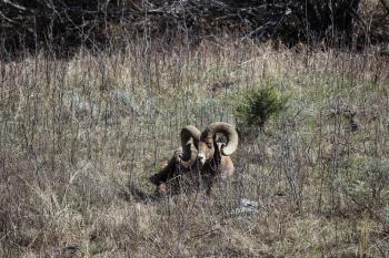 bighorn sheep 11