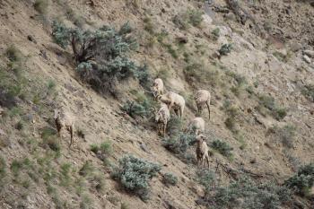 bighorn sheep 10