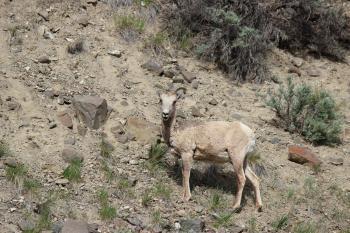 bighorn sheep 9