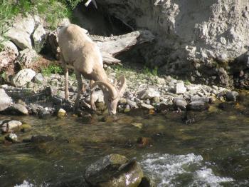 bighorn sheep 7