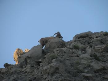 bighorn sheep 14