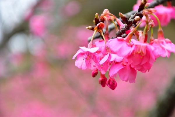 4河津桜200125