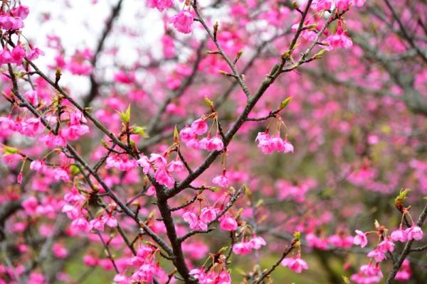 5河津桜200125