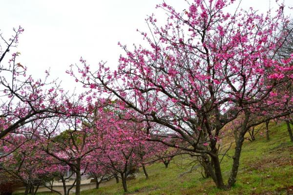 2河津桜200125
