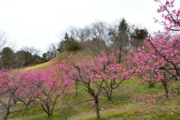 1河津桜200125