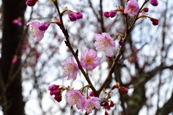 1寒桜200203