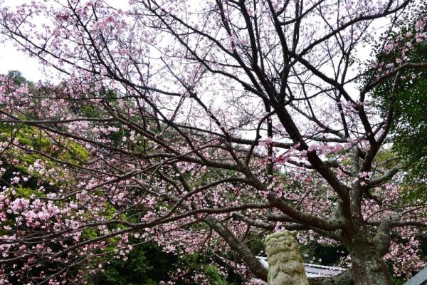 6薄紅寒桜200212