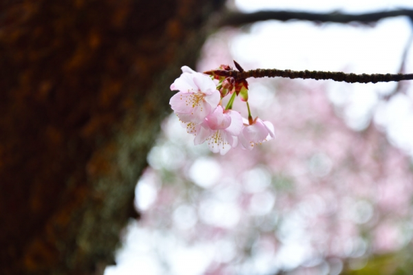 5薄紅寒桜200212