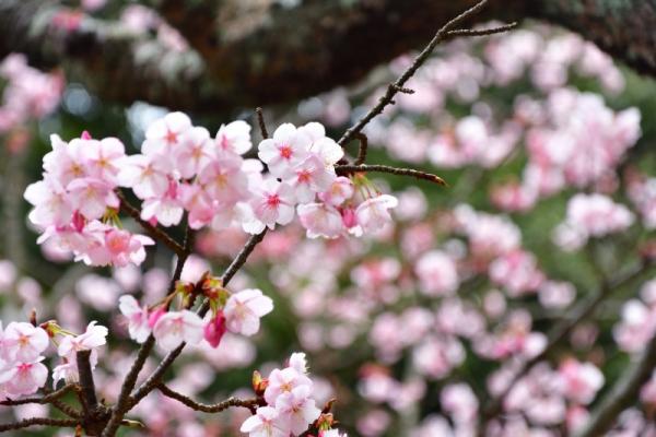 4薄紅寒桜200212