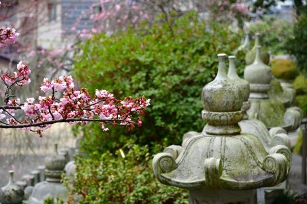 3薄紅寒桜200212