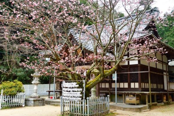 1薄紅寒桜200212