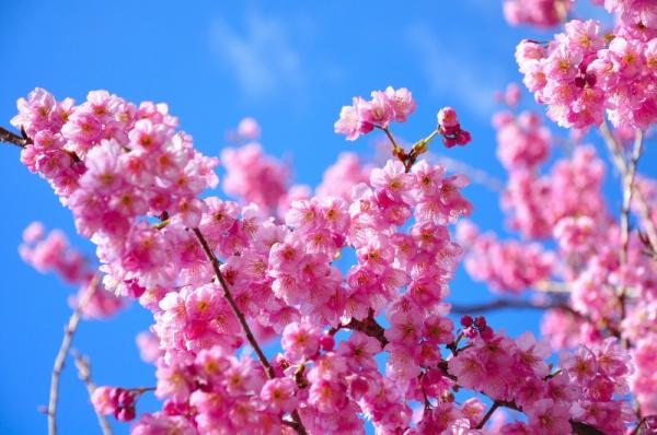 6雪割桜200217