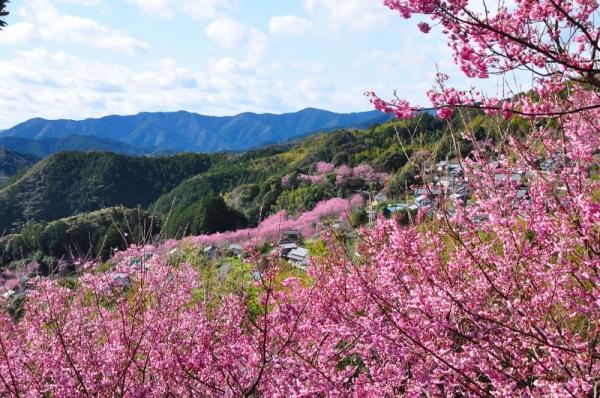 4雪割桜200217