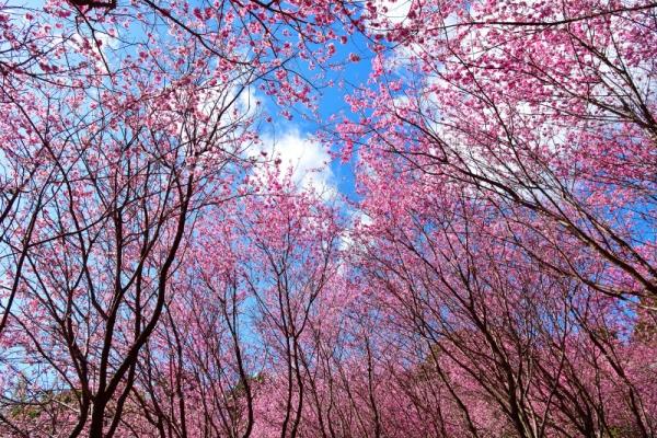 3雪割桜200217