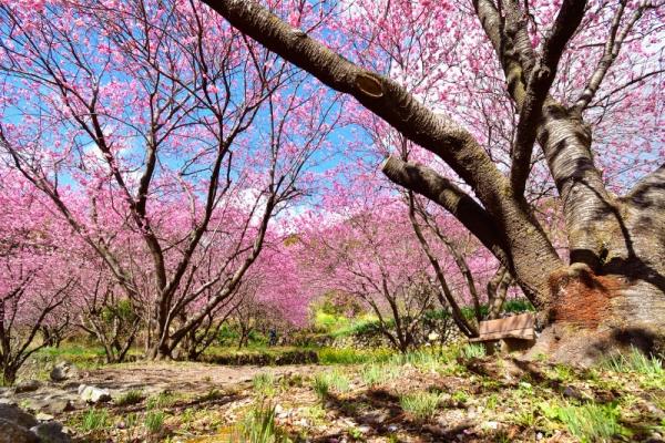 1雪割桜200217
