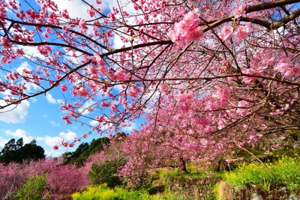 12雪割桜200217
