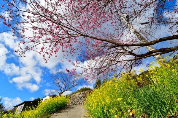 11雪割桜200217