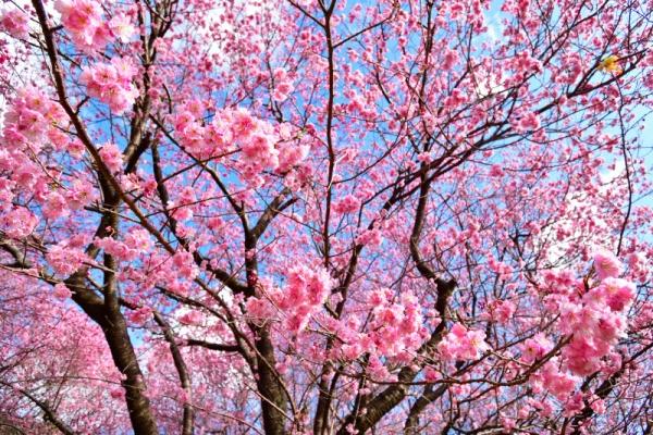 10雪割桜200217