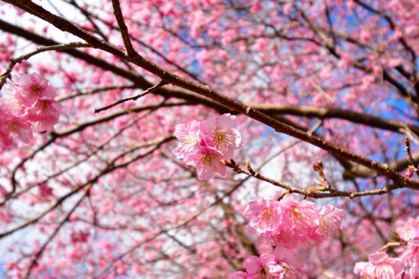 9雪割桜200217