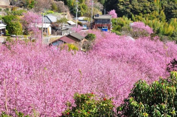 8雪割桜200217
