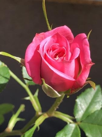 ミニ薔薇ピンクブログ1