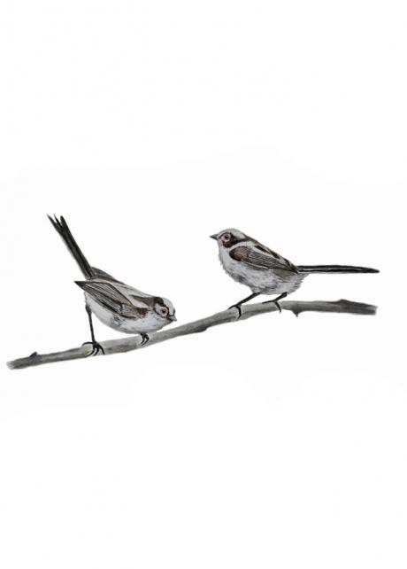 16771-エナガ 幼鳥1