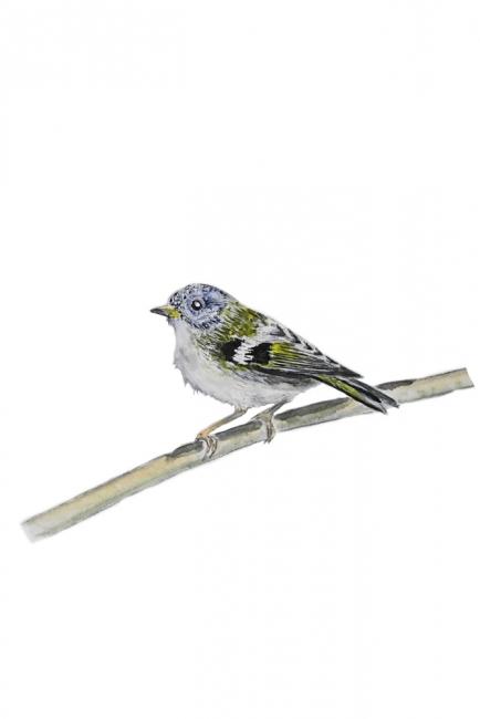 16784-キクイタダキ 幼鳥 2