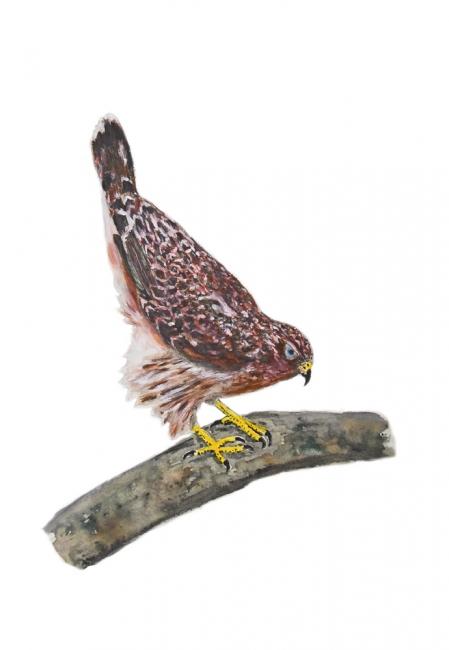 16788-オオタカの若鳥2